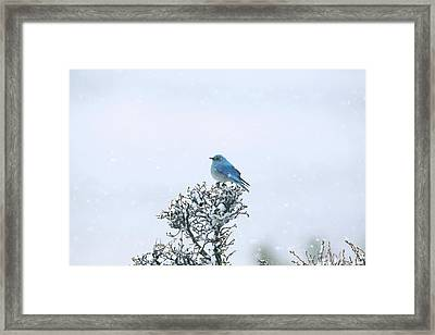 Mountain Bluebird In Snow Framed Print by Pat Gaines