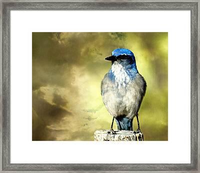 Mountain Bluebird Framed Print by Marty Koch