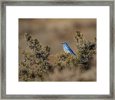 Mountain Bluebird // North Dakota Framed Print