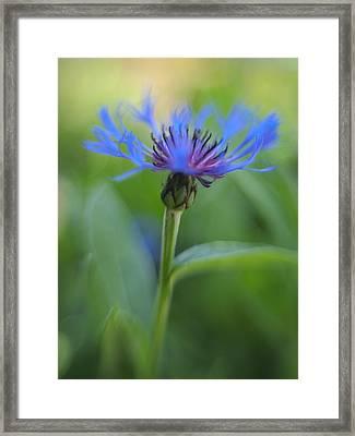 Mountain Bluet Flower Framed Print by Don Zawadiwsky
