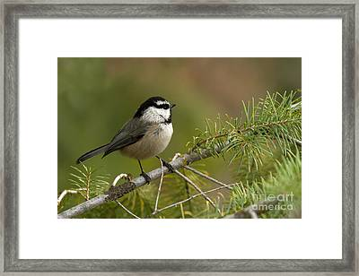Mountain Chickadee Framed Print