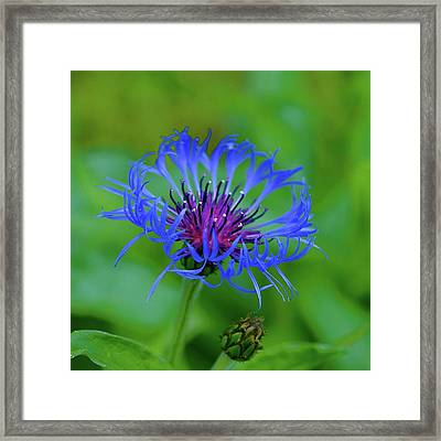 Mountain Cornflower Framed Print