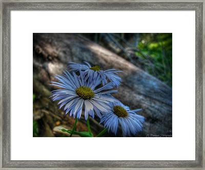 Mountain Daisies And A Downed Spruce Framed Print