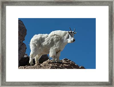 Framed Print featuring the photograph Mountain Goat 2 by Gary Lengyel