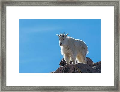 Framed Print featuring the photograph Mountain Goat 4 by Gary Lengyel