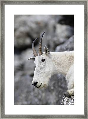 Mountain Goat At Rest Framed Print by Michael Bowland