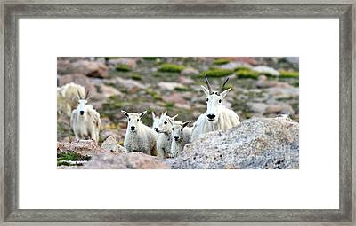 Framed Print featuring the photograph Mountain Goat Family Panorama by Scott Mahon