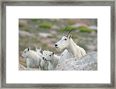 Framed Print featuring the photograph Mountain Goat Family by Scott Mahon