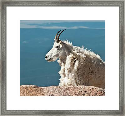 Mountain Goat King Of Mount Evans Framed Print