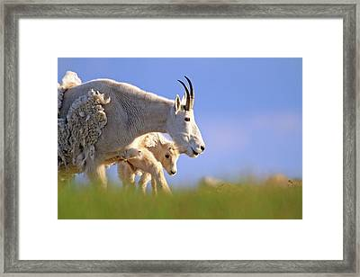 Framed Print featuring the photograph Mountain Goat Light by Scott Mahon