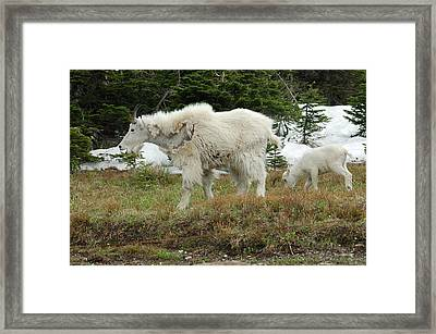 Mountain Goat Mom And Baby Framed Print by D Nigon