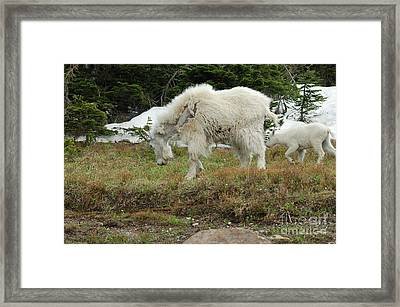 Mountain Goat Mom And Baby II Framed Print by D Nigon
