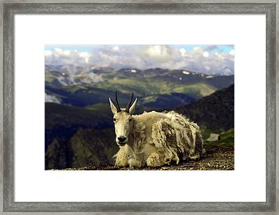 Mountain Goat Resting Framed Print by Sally Weigand