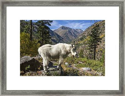 Mountain Goat Sentry Framed Print