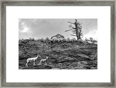 Mountain Goat With A Kid For A Walk Framed Print