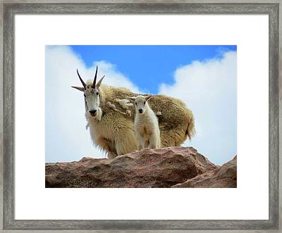 Mountain Goats Framed Print by Connor Beekman