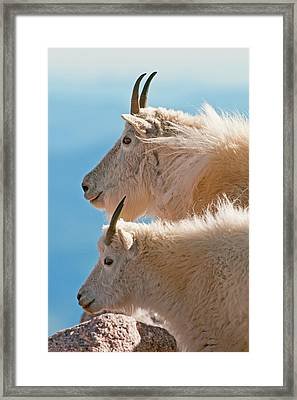 Framed Print featuring the photograph Mountain Goats by Gary Lengyel