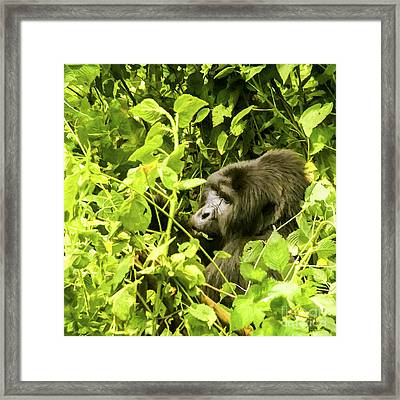 Mountain Gorilla Framed Print by Liz Leyden