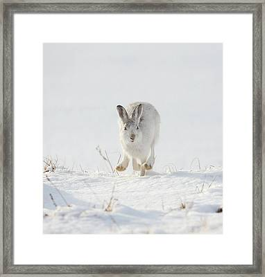 Mountain Hare Approaching Framed Print