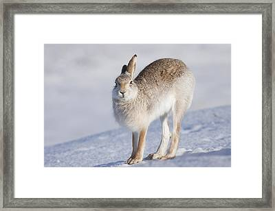 Mountain Hare In The Snow - Lepus Timidus  #2 Framed Print