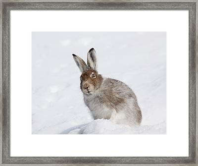 Mountain Hare In Winter Framed Print