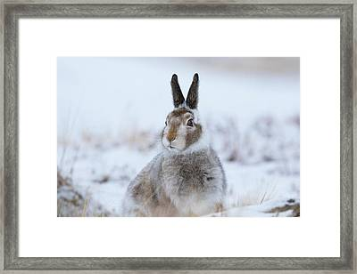 Mountain Hare - Scotland Framed Print