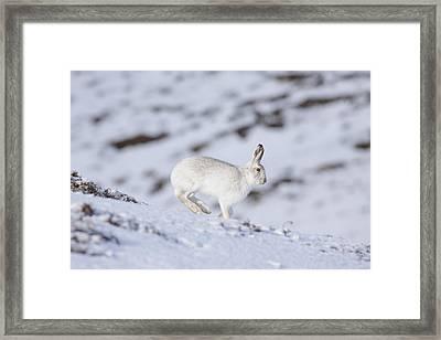 Mountain Hare - Scottish Highlands  #12 Framed Print