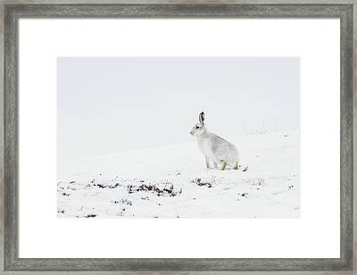 Mountain Hare Side On Framed Print