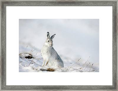 Mountain Hare Sitting In Snow Framed Print