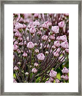 Mountain Laurel Bush Framed Print by Carol F Austin