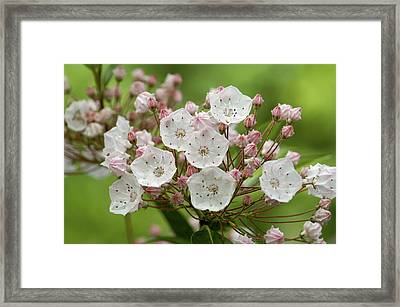 Mountain Laurel Framed Print by Henri Irizarri