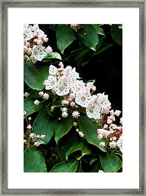 Mountain Laurel Framed Print by Rob Travis