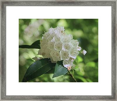 Framed Print featuring the photograph Mountain Laurel - Spring by Nikolyn McDonald