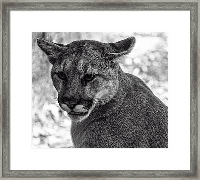 Mountain Lion Bw Framed Print by Chris Flees