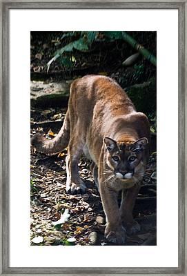 Mountain Lion Framed Print by Douglas Barnett