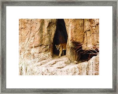Mountain Lion In The Desert Framed Print