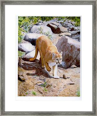Mountain Lion In The Wild Framed Print by Lorraine Foster