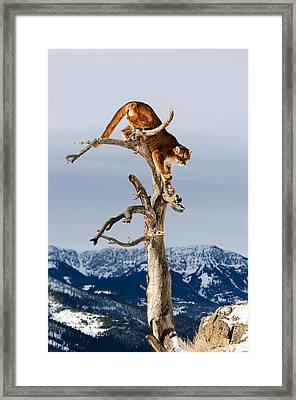 Mountain Lion In Tree Framed Print