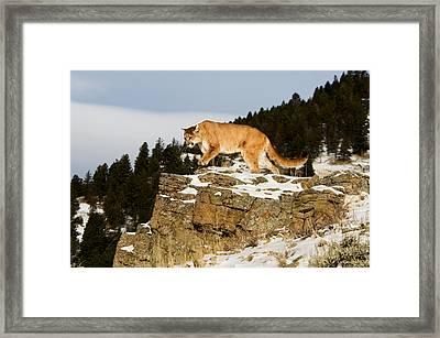 Mountain Lion On Rocks Framed Print