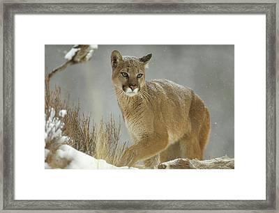 Mountain Lion Puma Concolor Adult Framed Print