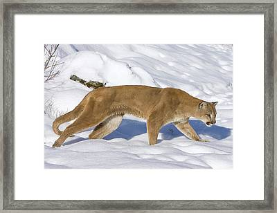Mountain Lion Puma Concolor Hunting Framed Print by Matthias Breiter