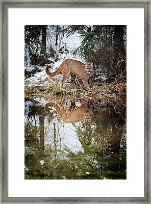 Mountain Lion Reflection Framed Print