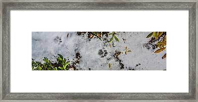 Mountain Lion Tracks In Snow Framed Print