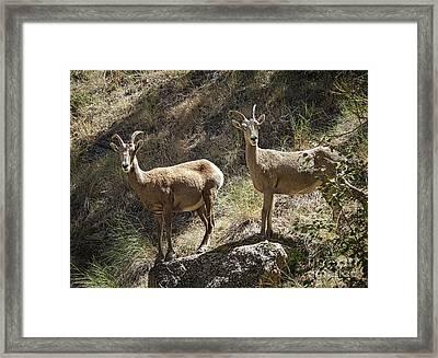 Mountain Sheep Framed Print by Robert Bales