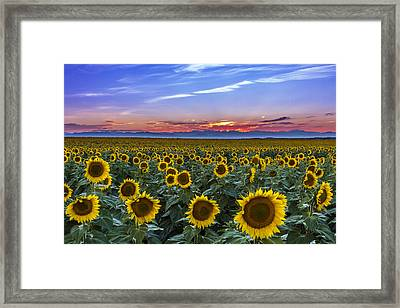 Mountain Sunset Over Sunflower Fields Framed Print by Teri Virbickis