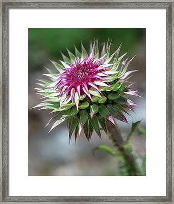 Mountain Thistle Framed Print