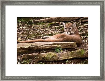 Mouontain Lion Resting Framed Print