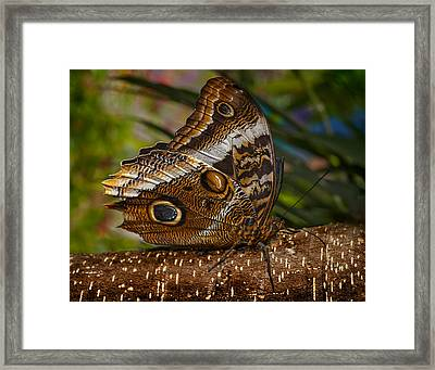 Mournful Owl Butterfly Framed Print