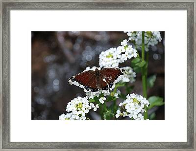 Mourning Cloak Framed Print by Jason Coward