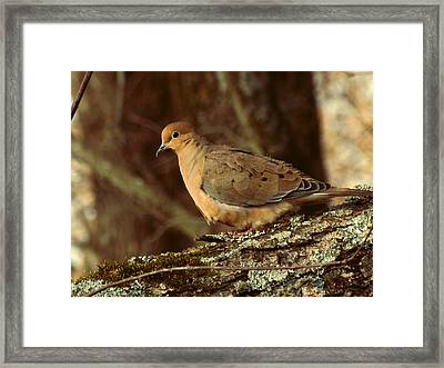 Mourning Dove At Dusk Framed Print